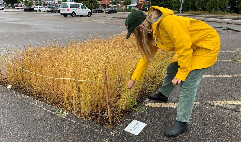 En kvinna drar i linstrån som växer på en parkeringsplats. Hon har grön keps och gul regnjacka på sig.